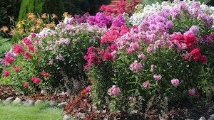 flerårige planter som pynter i hagen og er umulig å drepe