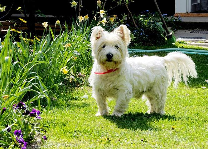 West highland white terrier - røyter lite