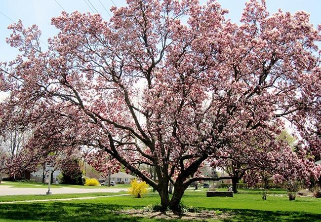 stort rosa magnolia tre