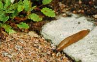Iberia-sneglene er uønskede i hagen!