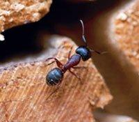 Når våren kommer våkner maurene til liv og kan bli fristet til å slå seg ned innendørs.