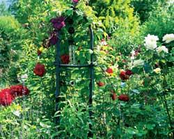Den vakre mørke røde rosen er oppkalt etter skuespillerinnen Ingrid Bergmann.