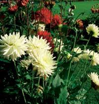 Georginer gleder deg med fantastisk blomstring på sensommeren og helt til frosten kommer.