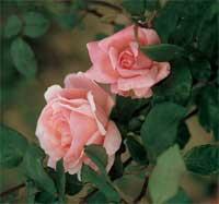 Vi elsker roser, og har flere typer enn noensinne. (Foto: Bayer Garden/Plantedoktoren.no)