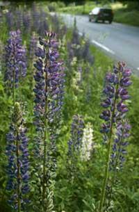 : Lupiner er nok dekorative, men de utgjør en fare for de naturlige engplantene våre.
