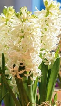 Foto: International Flower Bulb Centre