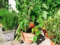 Dyrk tomater på friland