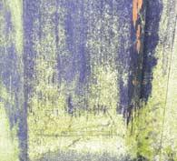 Grønne alger på fugtigt træ.
