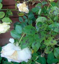 Foto: www.plante-doktor.dk
