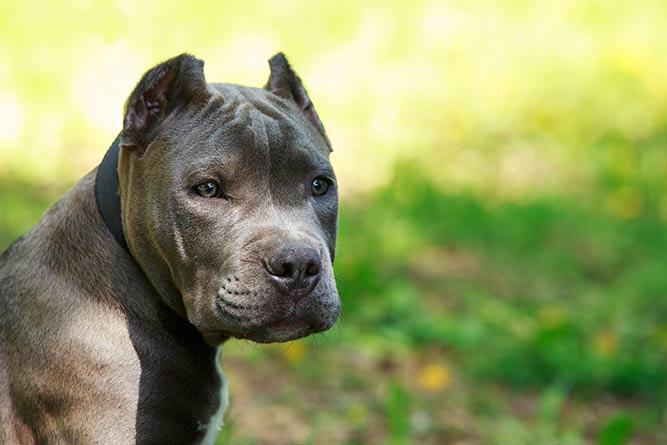 Amerikansk staffordshire terrier - forbudt hunderase