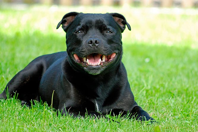 Staffordshire bull terrier populære hunderaser