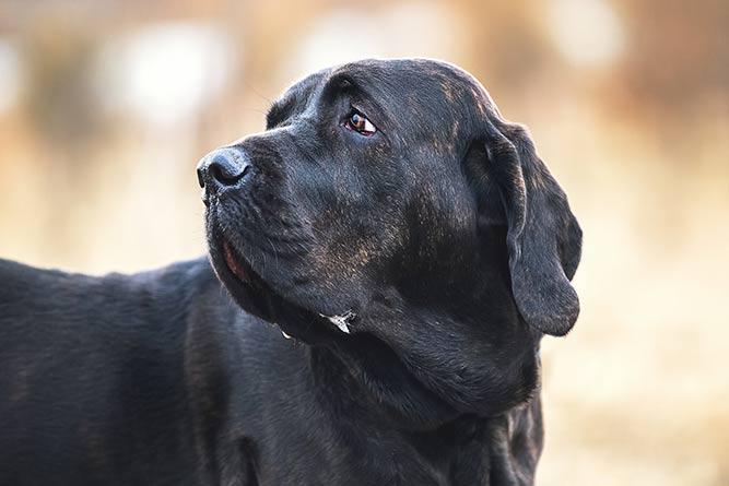 Fila brasileiro - forbudt hunderase