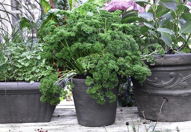 Potte-trænede krydderurter gør havelivet nemt