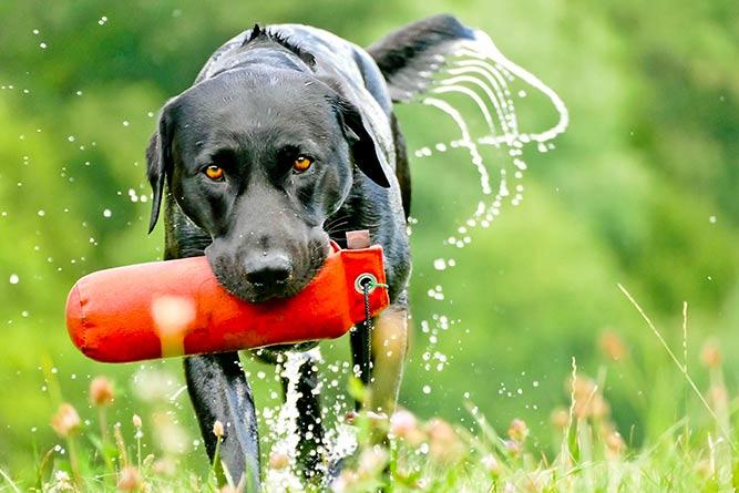 Labrador retriever  populær hunderase