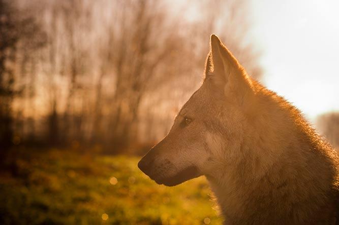 Tsjekkoslovakisk ulvehund - forbudt rase