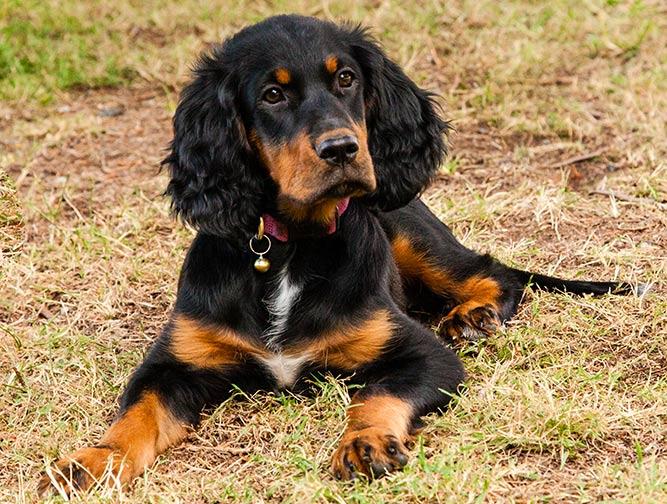Gordon setter - populære hunderaser i Norge