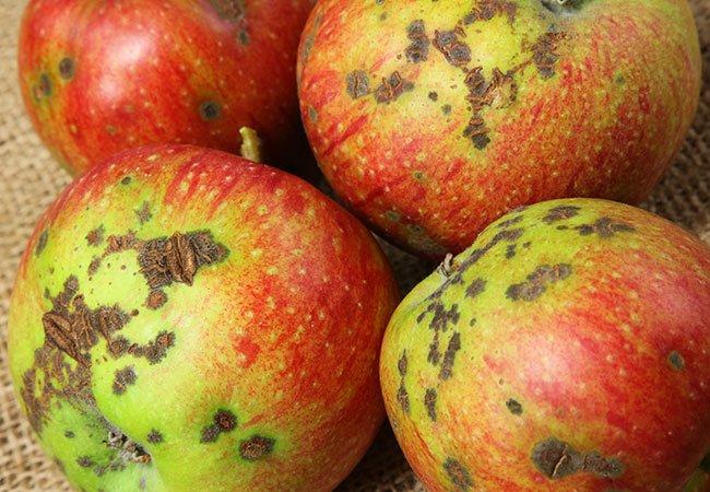 Æbler ramt af æbleskurv.