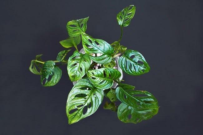 Monstera adansonii har hjerteformede, hullete blader.
