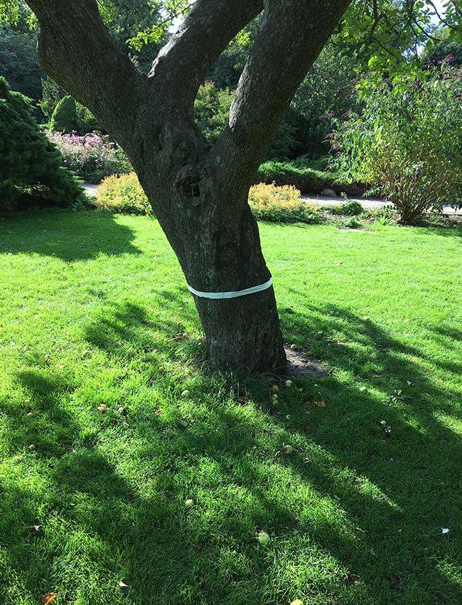 Gaffatape omkring æbletræ - mod myrer og bladlus.