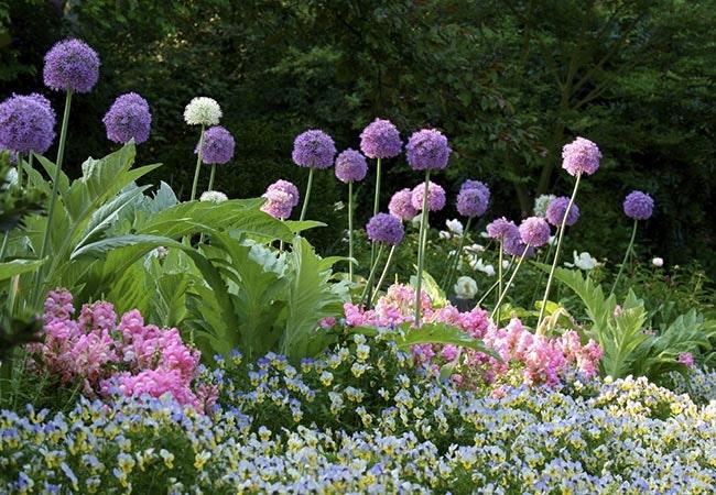 Allium – elegante prydløg med enestående blomsterstande