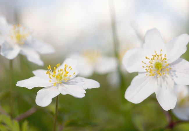 Anemoner i haven