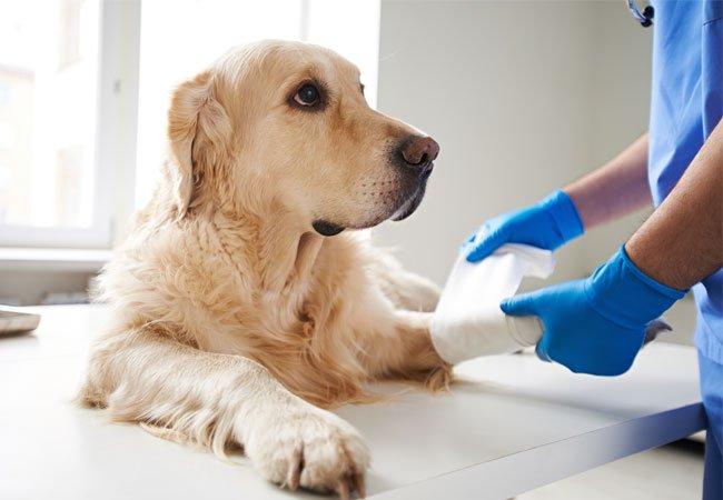 Atrose hos hund - haltende hund - stivhet hos hund