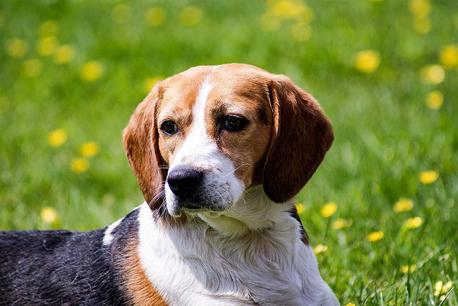beagal - familievennlig hund