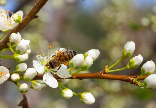 Bi bestøver kirsebærblomst