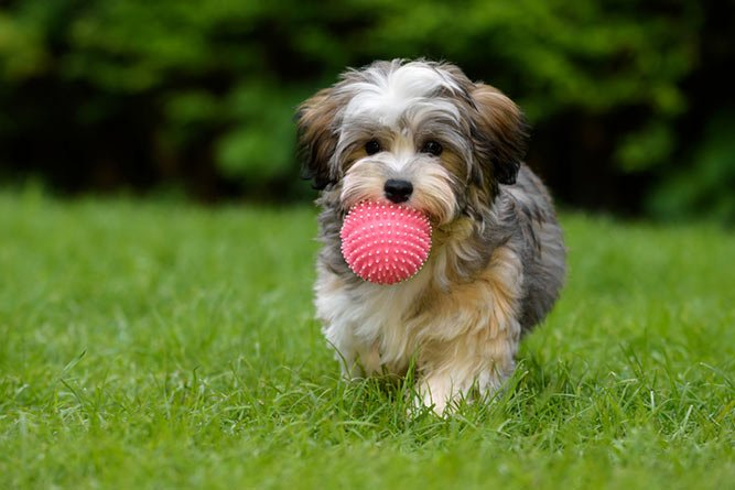 Bichon havanais - familievennlig hund