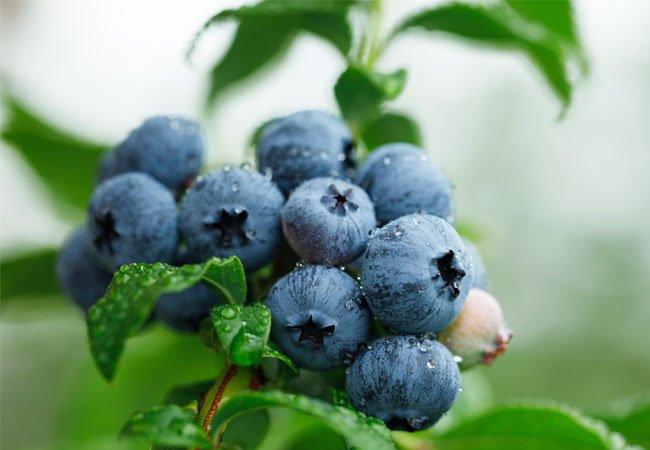Blåbærbusken (Vaccinium myrtillus) i krukker og potter