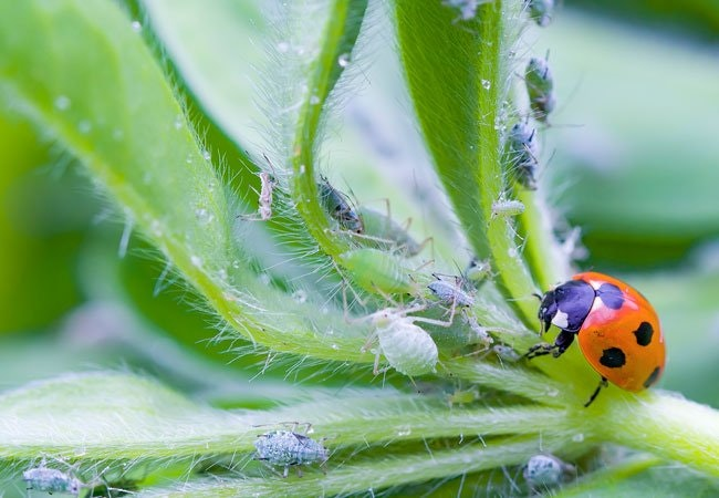 Sådan bekæmper du bladlus helt uden gift