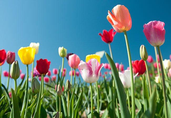 Tulipaner i forskellige farver