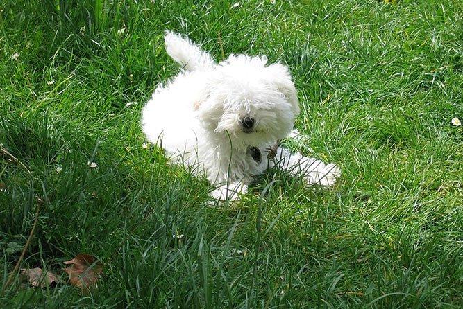 Bolognese - hunderase - familiehund