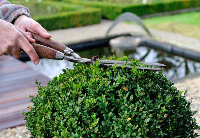 Buksbom (buxus sempervirens) i krukker og potter