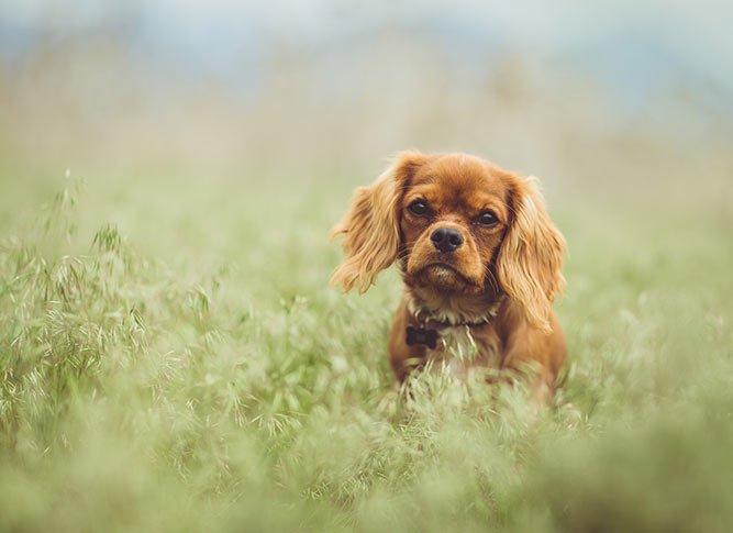 Cavalier King Charles spaniel i en eng - familiehund