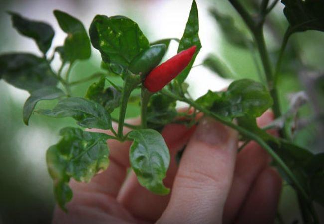 Chili i dit drivhus