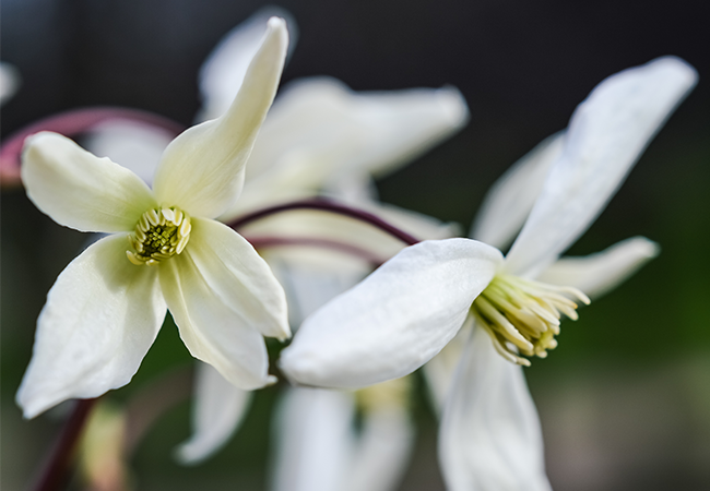 Hvide klematis blomster
