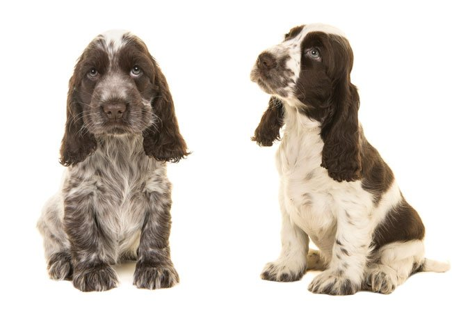 To cocker spaniels.