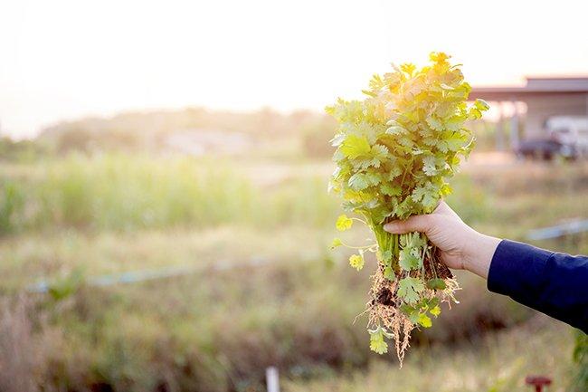 koriander-dyrking-blader og røtter