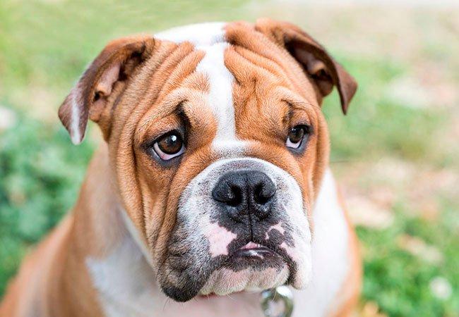 Engelsk Bulldog med folder i ansigtet.