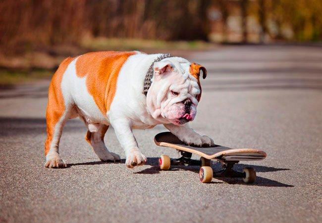 Engelsk Bulldog skal til at løbe på skateboard.