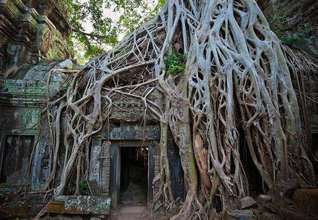Figentræ i Camodja