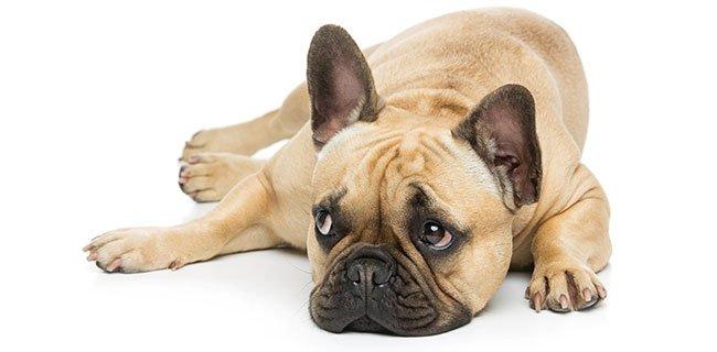Hund af hunderacen fransk bulldog.