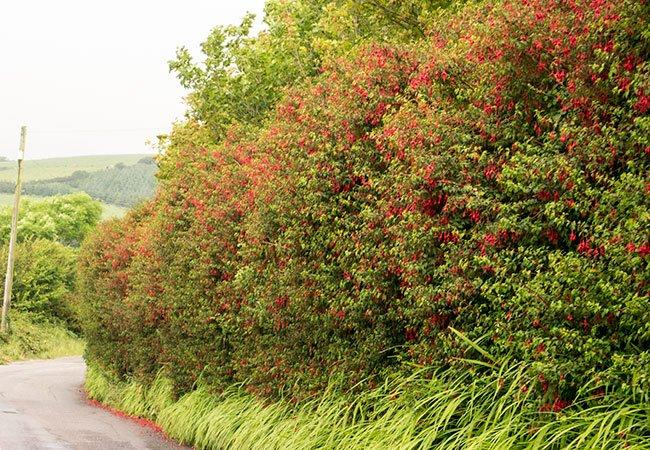 Vilde fuchsiaer i et hegn ved dansk landevej.