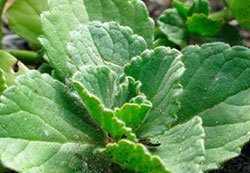 Blade af gå-væk-kat-planten: Plectranthus canina.