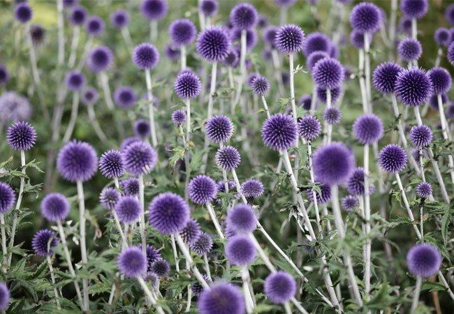 Globetidsel er ikke ukrudt, men en smuk plante til haven