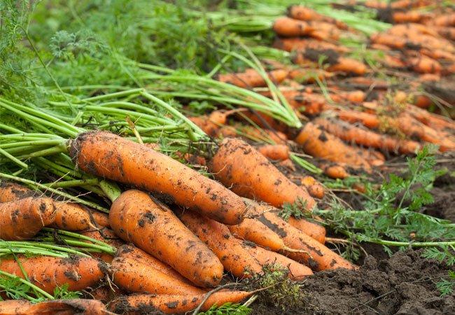 Hjemmedyrkede gulerødder i haven
