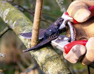 Beskæring af træ for at få bedre resultat
