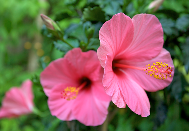 Lyserøde hibiscus blomster