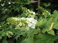 Hortensia egebladet